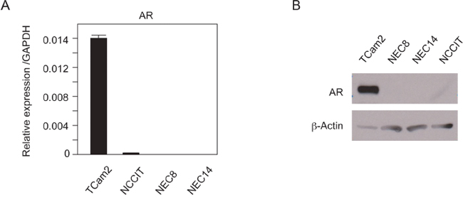 AR expression in TGCT cell lines.