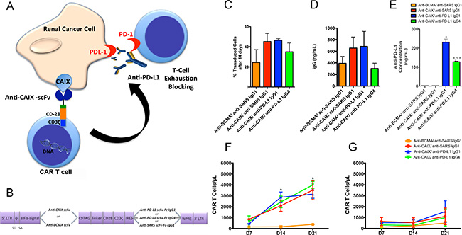 Chimeric antigen receptors (CAR) constructs for CD8+ T cells transduction.