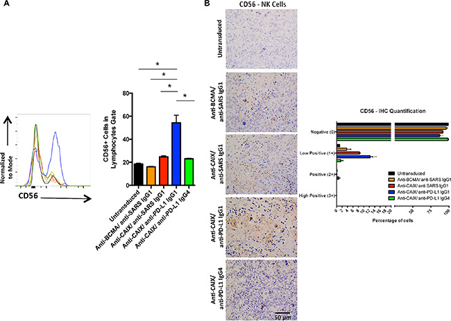 Human natural killer (NK) cells in the tumors treated with anti-CAIX CAR T cells secreting anti-PD-L1 IgG1 Ab.