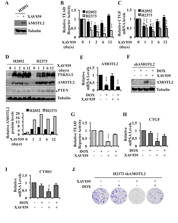 Angiomotin stabilization determines the ability of XAV939 to inhibit TEAD-mediated transcription and proliferation of Hippo pathway mutant tumor cells.