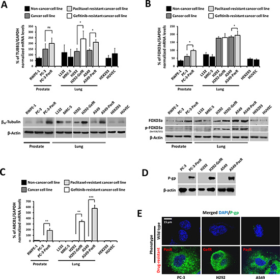 Overexpression profiles of TUBB3 and FOXO3a in a panel of cancer cells with ABCB1-associated acquired drug resistance.