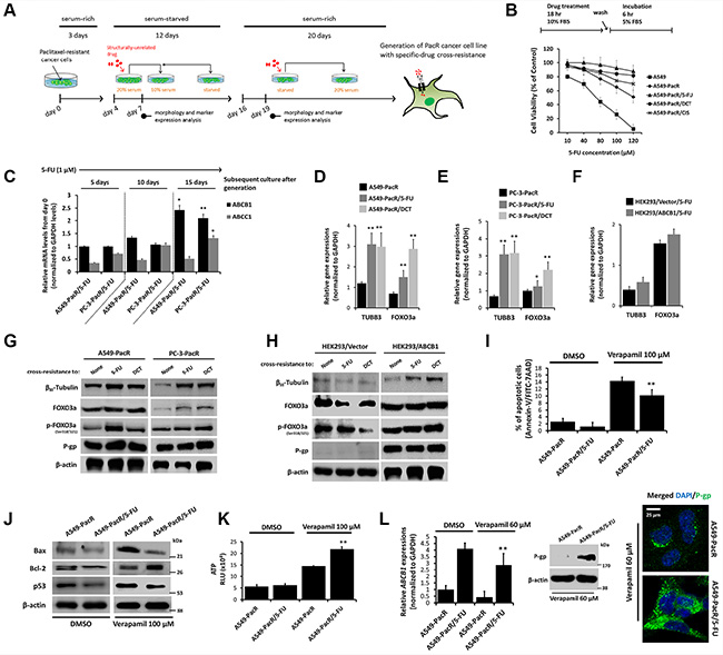 High acquired cross-resistance correlates to regulated TUBB3 and FOXO3a expressions with distinct hyperactive ABCB1 transcription in paclitaxel-resistant cancer cells.