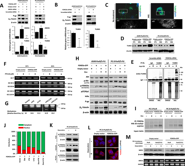 FOXO3a activity involves ABCB1 regulation to control TUBB3 response in paclitaxel-resistant cancer cells with transient 5-FU cross-resistance.