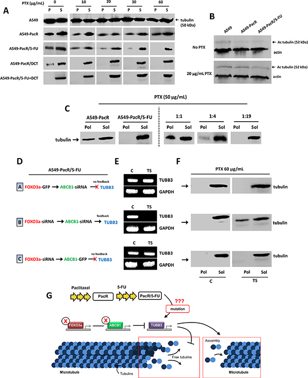 TUBB3 feedback inactivation reverses impaired microtubule stability in A549-PacR cells with developed transient multiple cross-resistance.