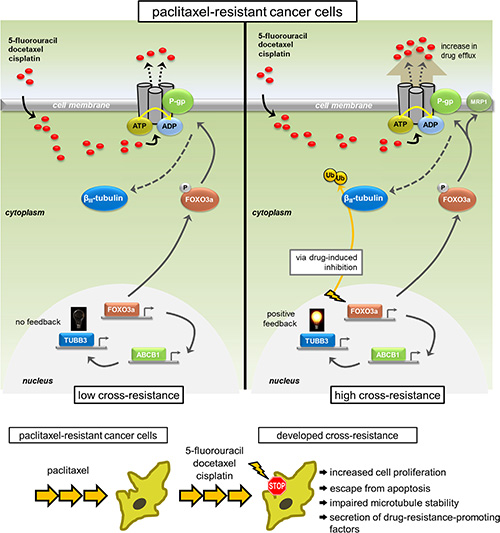 Model representation of the feedback control of TUBB3 via FOXO3a-mediated ABCB1 regulation inducing multiplicity in acquired cross-drug resistance.