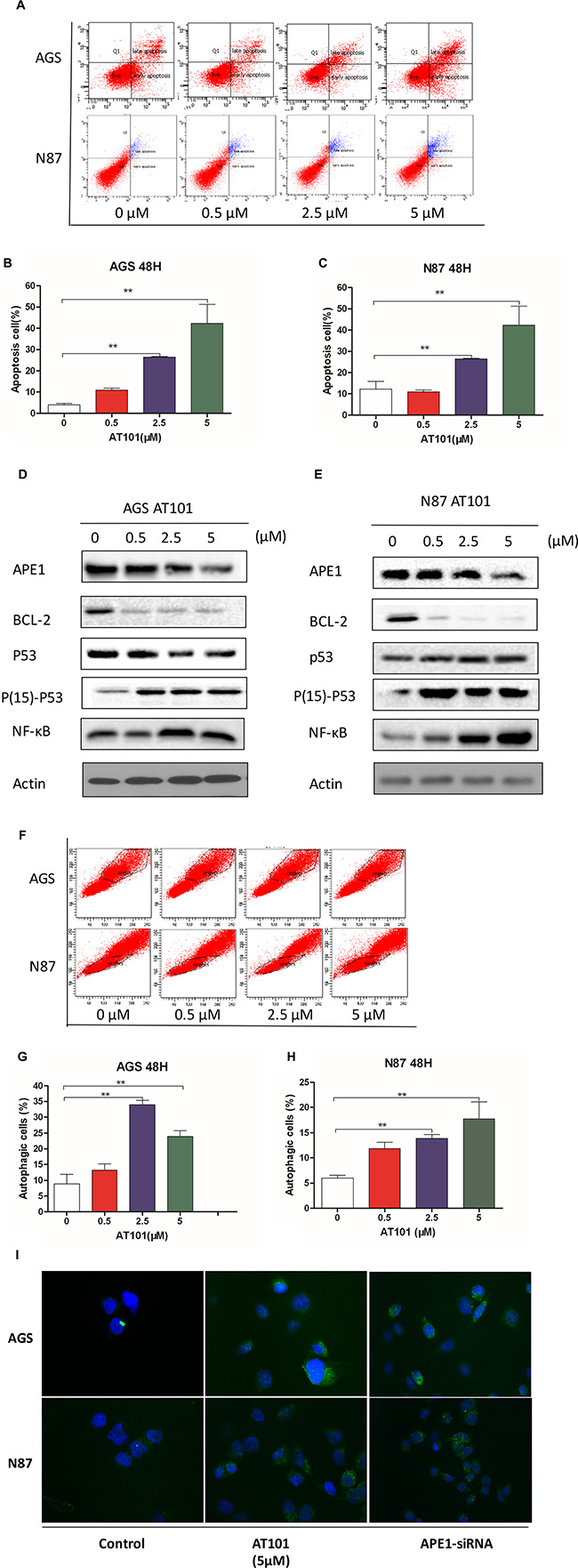 Inhibition of APE1 by AT101 promotes apoptosis and autophagy of gastric cancer cells.