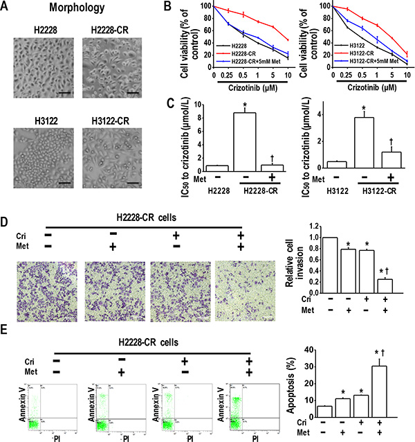 Metformin resensitized crizotinib-resistant human lung cancer cells to crizotinib.