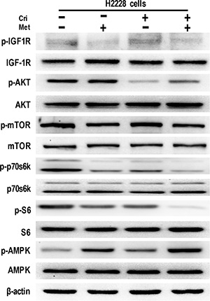 Metformin decreased IGF-1R signaling in crizotinib-sensitive human lung cancer cells.