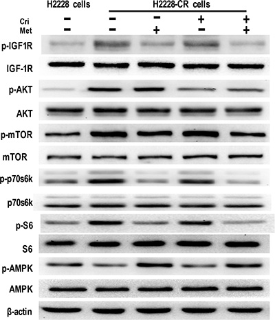 Metformin decreased IGF-1R signaling in crizotinib-resistant human lung cancer cells.