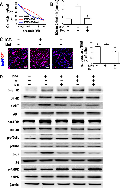 Metformin reversed IGF-1-induced crizotinib resistance and decreased IGF-1R signaling activation.
