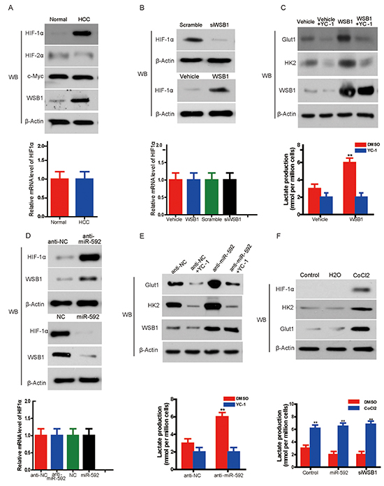 Knockdown of miR-592 enhances glycolysis by increasing WSB1-induced HIF-1α stability.