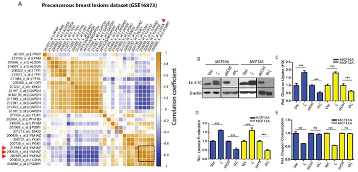 The 14-3-3ζ expression level correlates with glycolytic genes in early-stage breast cancer patients and its overexpression increases glycolysis in hMECs.