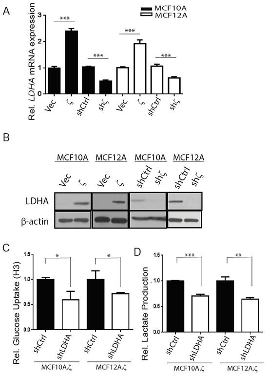 14-3-3ζ overexpression increases glycolysis by upregulating LDHA mRNA and protein expressions in hMECs.
