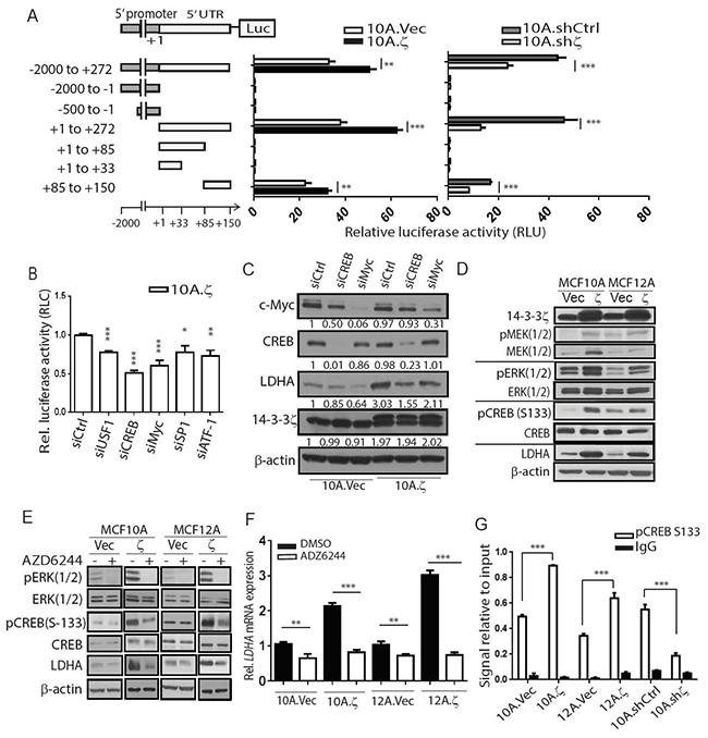 14-3-3ζ overexpression transcriptionally upregulates LDHA.