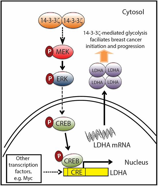 Proposed model of 14-3-3ζ overexpression-mediated LDHA upregulation facilitates breast cancer tumorigenesis.