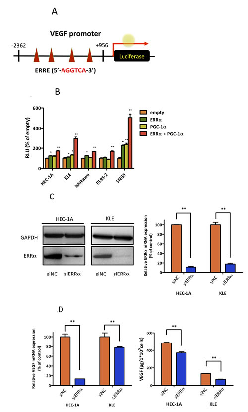 Effect of ERRα knockdown on VEGF expression and angiogenesis.