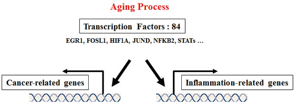 Proposed common transcription factors linking inflammation and cancer in the aging process.