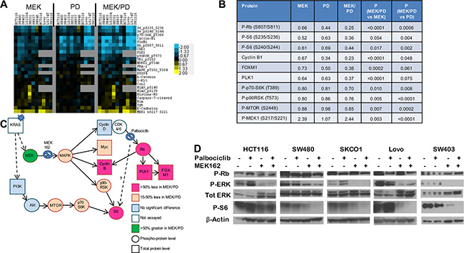 Combination of CDK4/6 and MEK inhibitors induces greater inhibition of phosphorylation of S6 and other growth factor signaling and cell cycle proteins.
