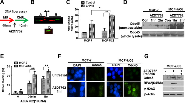 CHK1 inhibition led to the more profound increase in replication initiation in MCF-7/C6 cells.
