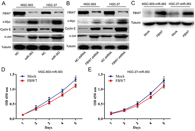 miR-363 overexpression inhibits FBW7 signaling in gastric cancer cells in vitro.