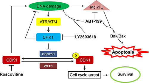 Proposed mechanism of action for LY2603618 alone or in combination with ABT-199 in AML cells.