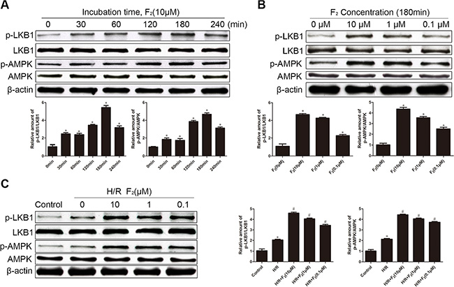 Effects of F2 on phosphorylation of LKB1 and AMPK in CMECs, as assessed by western blot.