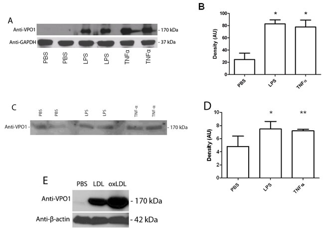 LPS, TNF-α and LDL induce VPO1 expression in aorta and secretion into plasma.