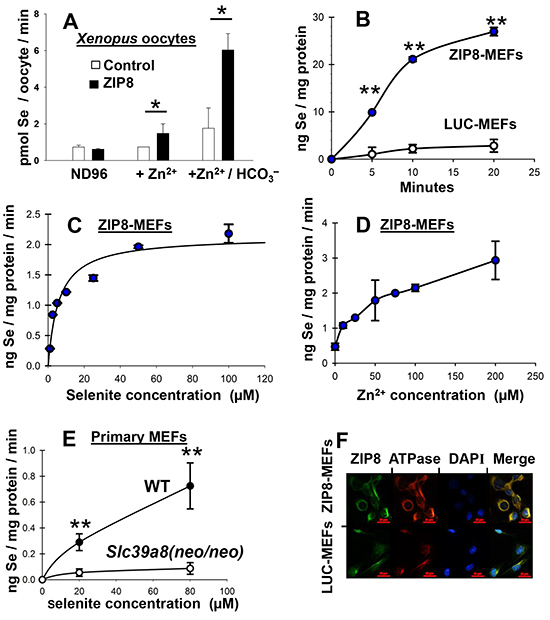 Se uptake as a function of time and Zn2+ concentration in oocytes and mouse cell cultures; localization of ZIP8 to plasma membrane.