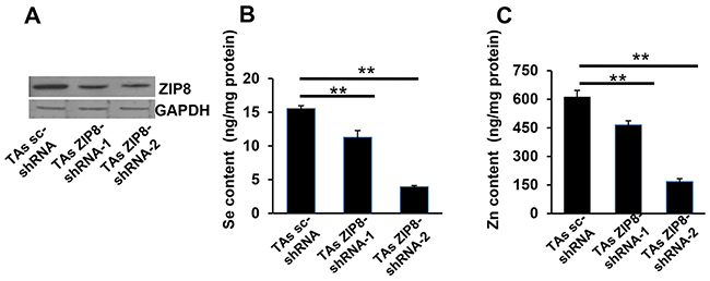 ZIP8 knockdown by shRNA causes decreased ZIP8 protein expression and Se and Zn uptake.