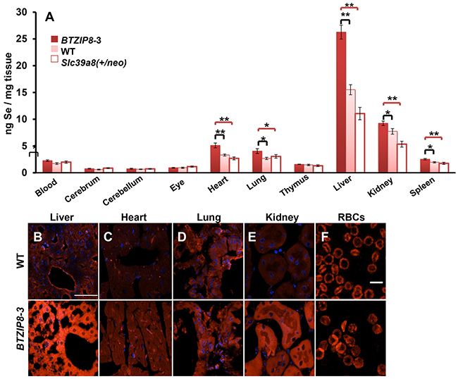 Se content in ten mouse tissues as a function of ZIP8 concentrations in three mouse lines having different Slc39a8 genotypes.