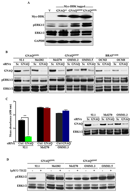 ERK1/2 activation in human UM cell lines harbouring GNAQ mutations is predominantly independent of GNAQ signalling.