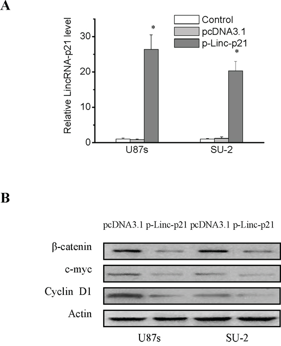 LincRNA-p21 overexpression decreased β-catenin expression and activity in GSCs.