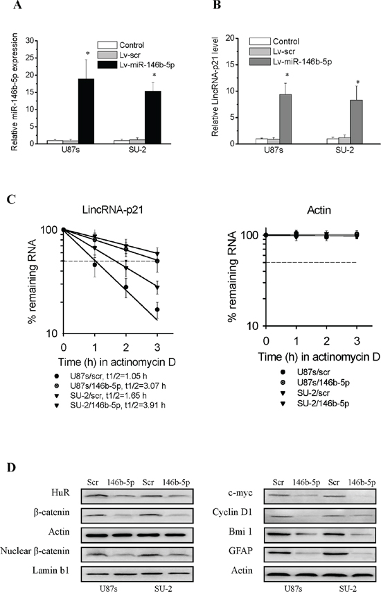 MiR-146b-5p overexpression suppressed Wnt/β-catenin signaling activity through targeting HuR/lincRNA-p21 pathway in GSCs.