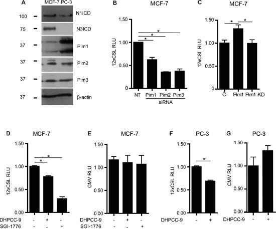 Pim kinases enhance endogenous Notch activity.