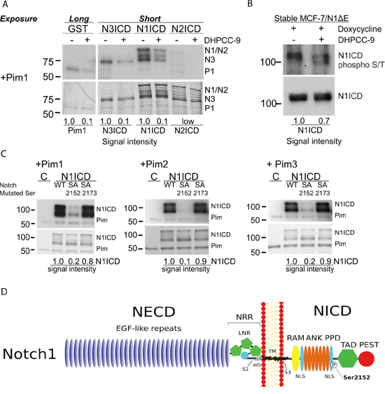 Serine 2152 in Notch1 is phosphorylated by Pim kinases.