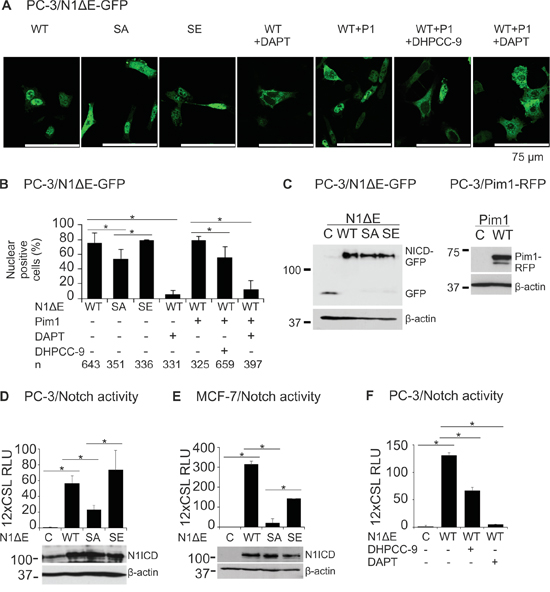 Phosphorylation enhances both nuclear localization and activity of Notch1.