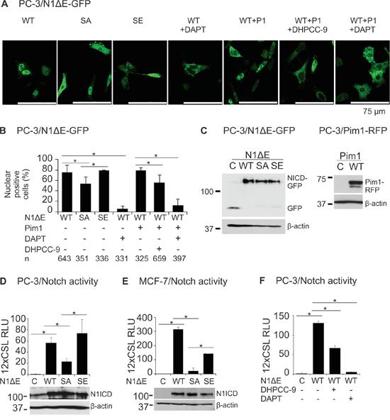 Phosphorylation enhances both nuclear localization and activity of Notch1.