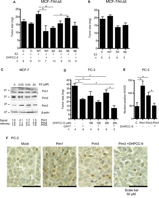 Pim1 and Notch1 synergize to promote breast and prostate xenograft growth. The chorioallantoic membrane (CAM) model was used to measure tumorigenic growth of xenografted MCF-7 or PC-3 cells.