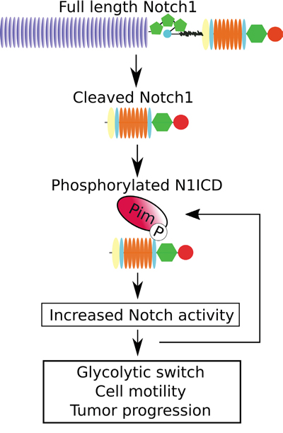 Schematic diagram of the effects of Pim kinases on Notch1 signalling.