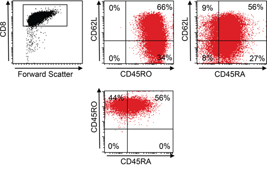 Central memory phenotype of TCR-transgenic T cells.