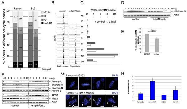 BCR activation is associated with a prolongation of the G2 phase, a deceleration of M phase entrance and metaphase defects.