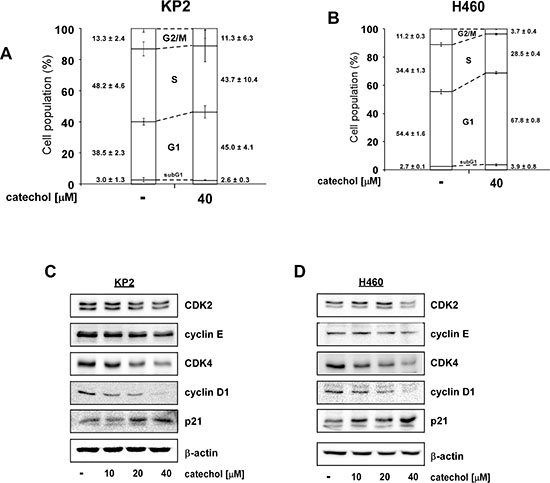 Catechol induces G1 phase arrest and reduces G1 phase-related protein expression.