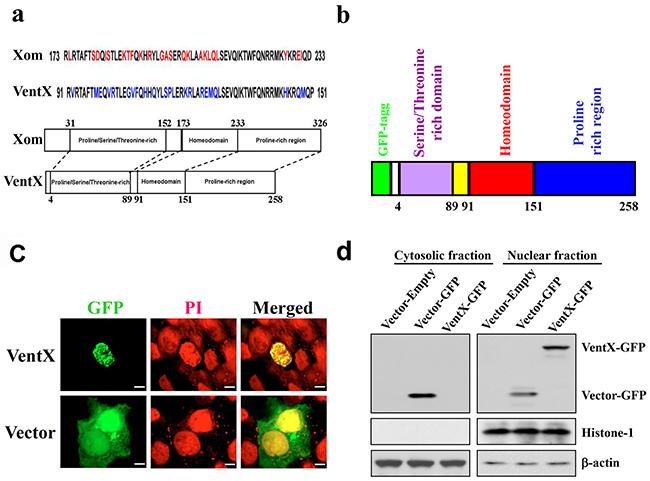 VentX encodes a nuclear protein.
