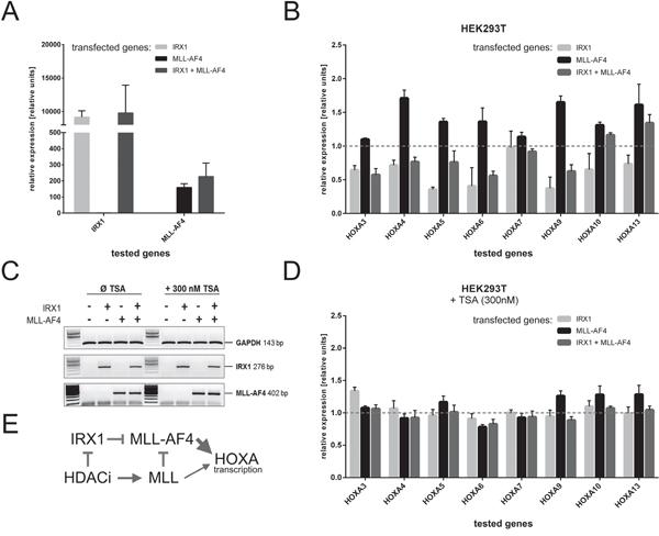 Inhibition of HOXA gene transcription in the presence of IRX1.