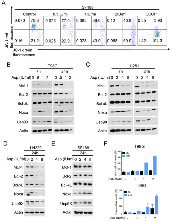 L-asparaginase (Asp) treatment reduces the mitochondrial membrane potential and expression of anti-apoptotic Bcl-2 family proteins.