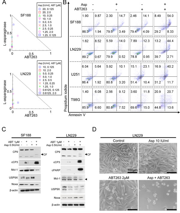 Combined treatment with L-asparaginase (Asp) and ABT263 results in anti-proliferative and pro-apoptotic synergism.