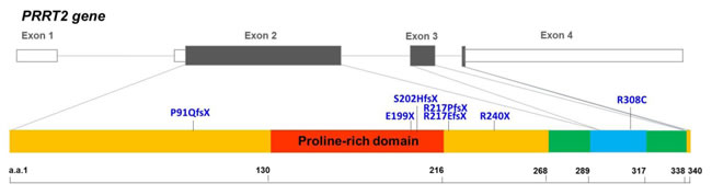 Genomic organization of the human PRRT2 gene and the distribution of the PRRT2 mutations identified in Taiwanese PKD patients.