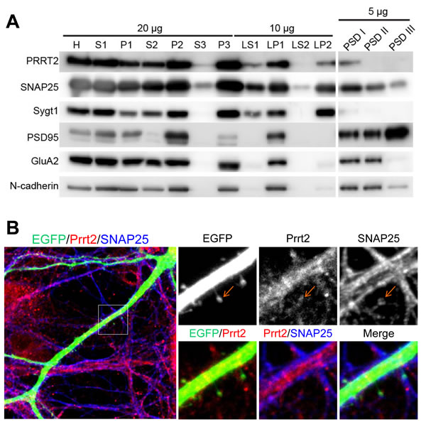 Localization of Prrt2 at the pre- and post-synaptic membranes.