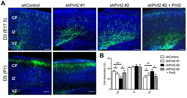 Delay in neuronal migration by Prrt2 knockdown during development.