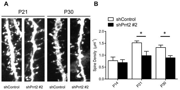 Decreased dendritic spine density after Prrt2 knockdown.